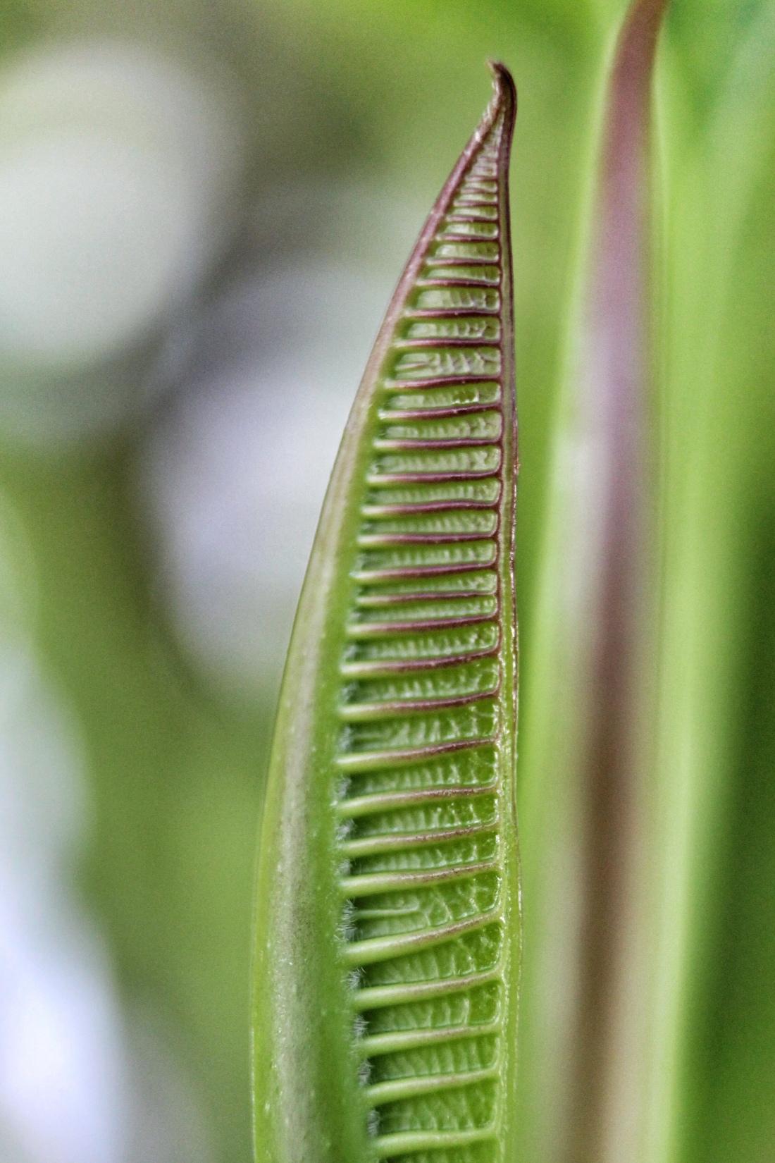 Frangipani leaf bud