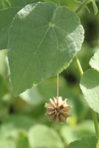 Dorsal view of mature dehiscent schizocarp and leaf