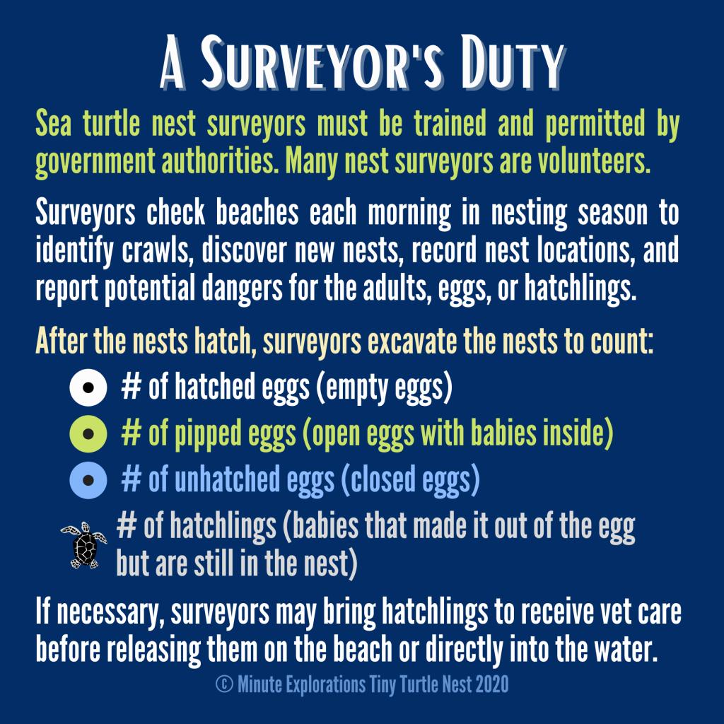 Summary of a sea turtle surveyor's duty