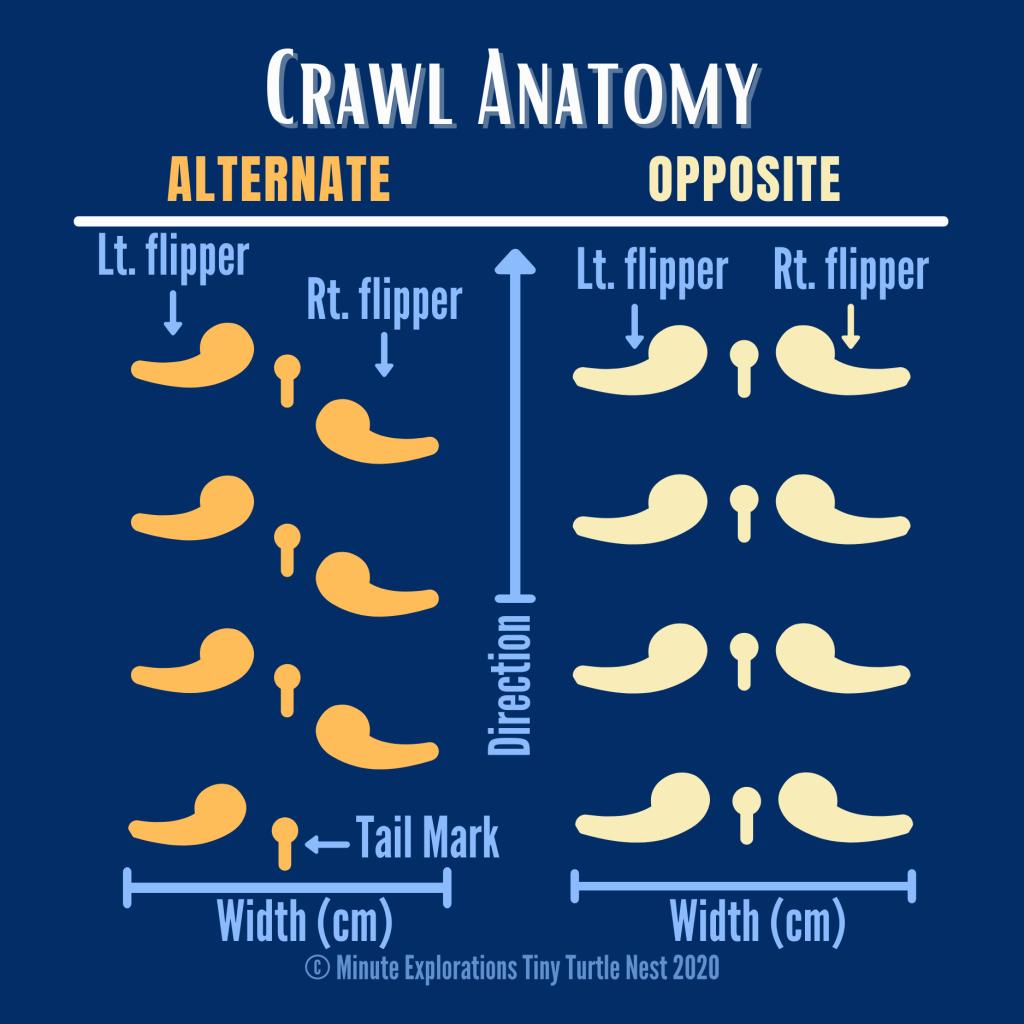 Anatomy of a sea turtle crawl